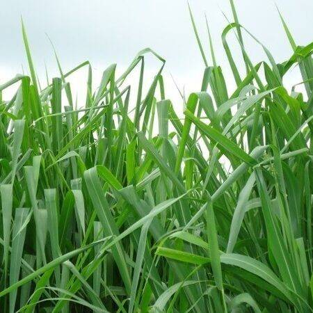 Fazendeiro, você está preparado para formar uma boa pastagem gastando pouco?