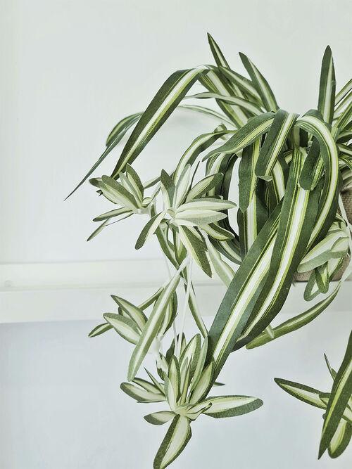 Arranjo Clorofito Poderoso