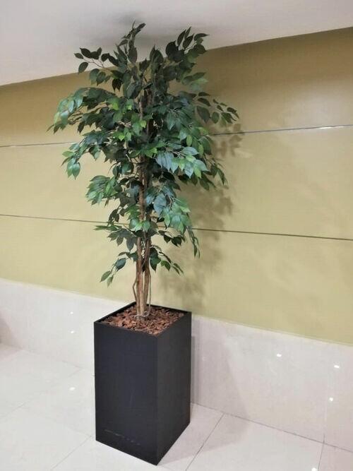 Ficus Verde 210cm (Somente árvore)
